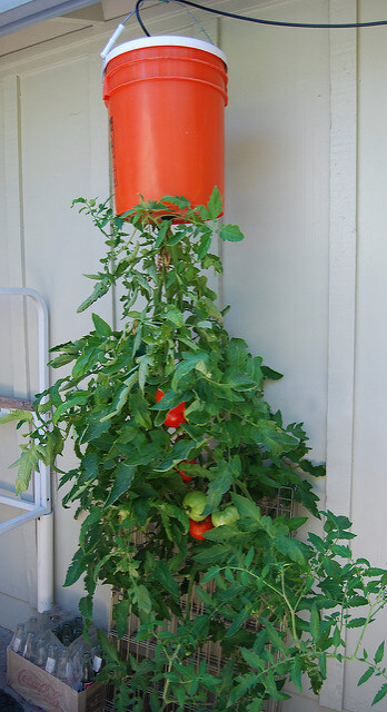 Tomatoes growing upside down in a small London garden. From Flickr