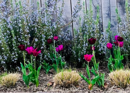 Garden Planting - Purple flowers